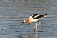 American Avocet (Boulder Flying Circus Birders) Tags: americanavocet recurvirostraamericana americanavocetcolorado americanavocetboulder wildbirdboulder wildbirdcolorado wildbirdcompany formerwildbirdcenter notwildbirdsunlimited birdseed birdwalk saturdaymorningbirders waldenpondswildlifehabitat bouldercountyopenspace sawhillponds cityofboulderopenspaceandmountainparks colorado gunbarrel nealzaun
