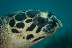 2018 fiji, 14 april, vatu vai, hawksbill turtle portrait