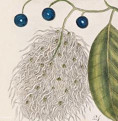 23. Dogwood Tree (Cornus Was Virginiana 24. Fringe Tree (Amelanchior Virginiana) 25. Dahoon Holly (Agrifolium Carolinenfe) 26. Yapon (Caffena vera Floridanorum) from The Natural History of Carolina, Florida, and the Bahama Islands (1754) by Mark Catesby ( (Free Public Domain Illustrations by rawpixel) Tags: bahama tags agrifolium amelanchior caffena carolina carolinenfe catesby cornus dahoon dogwood florida floridanorum fringe history holly island mark markcatesby name natural tree vera virginiana was yapon