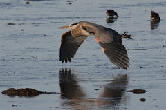 Great Blue Heron flying low...6O3A8828A (dklaughman) Tags: greatblueheron bird bif bombayhooknwr delaware