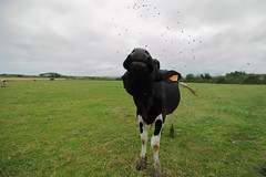 F..f..f..fly off (Elios.k) Tags: horizontal outdoors nopeople animal cow one tag wideangle perspective wideanglelens flies field grass grazing nature hornflies wavingfliesaway closeup cattle cloudysky weather colour color travel travelling july2017 summer vacation roadtrip canon 5dmkii photography tardinghen pasdecalais hautsdefrance france europe