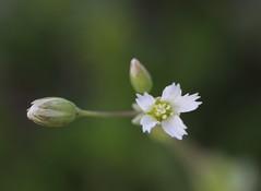 Jagged Chickweed Flower (corey.raimond) Tags: wisconsin wildflower wisconsinwildflower weed plant flora nonnative whiteflower chickweed jaggedchickweed holosteum umbellatum holosteumumbellatum caryophyllaceae