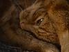 ginger cat (Mallybee) Tags: legacylens panasonic mallybee g9 dcg9 lumix ginger cat helios 58mmf2
