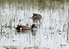 1763 Blue-winged Teal (vtbirdhouses) Tags: bluewingedteal