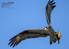 Osprey with Yellow Perch 5_8 1 (krisinct- Thanks for 15 Million views!) Tags: nikon d500 500 f4 vrg