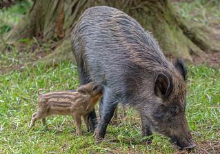 JWL8022  Wild Boar...