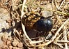Dung beetle at work (orientalizing) Tags: dungbeetle greece insects mani southernmani southernpeloponnese