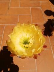 Trichocereus Yellow Star (bunkenburg) Tags: trichocereus yellowstar 16122