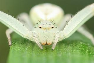 Misumenops sp. (Thomisidae)