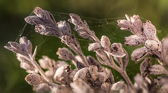 morning meeting (Vanessa wuz here) Tags: 90mm macro 7dwf macroflowers morningmoments sage flowers spiderweb