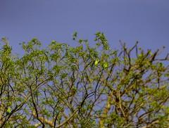 20180421-0I7A4088 (siddharthx) Tags: bird birdwatching birdsinthewild birdsofindia canon canon7dmkii catchment chandrampally chandrampallydam chandrampallynaturereserve chincholi chincholiforest chincholinaturereserve dawn daytrips ef100400mmf4556lisiiusm forest goldenhour gottamgutta habitatscrubland pristine promediageartr424lpmgprostix reservoir rivulet scrubforest sunrise telanganakarnatakaborder wild wildbirds wildlife gottamgotta karnataka india in plumheadedparakeet parakeet parrot