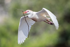 Cattle Egret (Simon Stobart (Catching Up and Editing)) Tags: cattle egret flying with nesting material bubulcus ibis florida