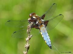 Broad-bodied chaser - male (LPJC (no more uploads for some time - unplanned tr) Tags: broadbodiedchaser dragonfly skylarksreserve skylarks nottinghamshire uk 2018 lpjc