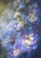 Spring Showers and the Delphinium Choir (Charles Opper) Tags: canon georgia spring atmosphere blossom bokeh color delphinium doubleexposure floral flower flowers light macro motionblur multipleexposure nature petals rain midway unitedstates