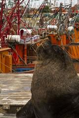 Lobo Marino (fede.carrillo) Tags: leónmarino mardelplata fauna mar mare sea puerto