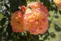 Rose in Tarragona, Catalonia, Spain (Ingunn Eriksen) Tags: rose nikond750 nikon tarragona flower