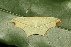 Traminda aventiaria (Cross-line Wave Moth) - Singapore (Nick Dean1) Tags: animalia arthropoda arthropod hexapoda hexapod insect insecta lepidoptera geometridae moth singapore pasirrispark