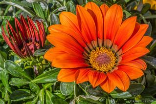 Orange Gazania Flowers.