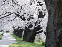 Sakura Street (Eshke04) Tags: sakura cherry blossom street trees hanami spring march japan