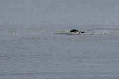IMG_6333 (armadil) Tags: mavericks beach beaches californiabeaches kathie lowtide seal seals