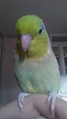 My parrotlet (Alhennah) Tags: tiny bird parrot parrotlet green blue feather