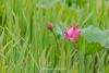 _Y2U9987.0613.Vân Khúc.Cẩm Khê.Phú Thọ (hoanglongphoto) Tags: asia asian vietnam northvietnam nature flower lotus canon canoneos1dx canonef100400mmf4556lisusmlens hoa hoasen phúthọ thiênnhiên hoasenhồng pinklotus lotusblossom sen plant cẩmkhê vânkhúc