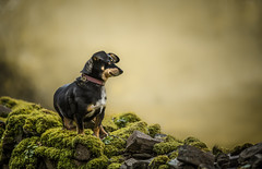 Mouse on her hols (Dogstar_photography) Tags: heddons mouth devon stone wall moss mouse beautifulrescuedog views scenery canon eos 5d mark iv ef135mm f2l usm