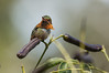 IMG_4595  Scintillant Hummingbird (ashahmtl) Tags: scintillanthummingbird bird hummingbird scintillantscintilla fincalerida boquete chiriquiprovince panama