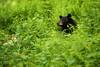 Black Bear in Ferns, Shenandoah National Park (Bryan Carnathan) Tags: bear black ferns hunting bowhunting season itsinmynature wildlife photography outdoor photographer nature shenandoahnationalpark shenandoah snp bigmeadows nationalpark hunt va virginia ngc