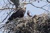 BALD EAGLE - ADULT & EAGLET (nsxbirder) Tags: baldeagle adult eaglet indiana brookville franklincounty whitewaterriver nest