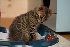 bayu (mwo_w_GERMANY) Tags: chatelou kitten wolff mario chateloude bengal kätzchen mwoaqwode chat caton chaton cato spotted black bengals spielen