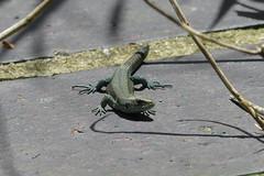 Curious (ocelotcreative) Tags: commonlizard lizard reptile ukwildlife londonwildlife londonwetlandcentre