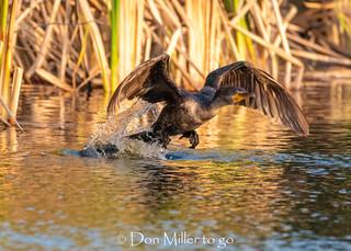 Cormorant Takes Flight