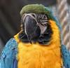 Mr colourful Parrot!😁 (LeanneHall3 :-)) Tags: parrot bird blue green yellow feathers beak closeup closeupphotography aviary eastpark hull kingstonuponhull canon 1300d
