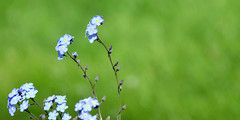 Forget me not! (John (Thank you for >2 million views)) Tags: 7dwf flora flowers forgetmenot bokeh blue stem stapleton bristol