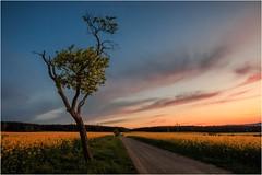 Wenn sich der Himmel warm verfärbt (linke64) Tags: thüringen deutschland germany natur landschaft wolken himmel sonnenuntergang weg wald baum rapsfeld raps