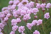 Pink Sea Thrift (Working hard for high quality.) Tags: pink plantlife organic life newquay cornwall beach grass headland seaside