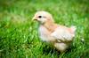 Baby Chickens-6 (sammycj2a) Tags: chick chickens backyardfarm farm chicks pullets straightrun backyard nikon nikkor lightroom