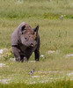 Namibie : même pas peur ;-) (Hervé Marchand) Tags: 2018 namibie rhinocéros white bird etosha animal parc