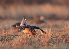 Sharptail Grouse Male_99 (Scott_Knight) Tags: sharptail grouse canon 300mm wisconsin bird nature wildlife romance male knight scott