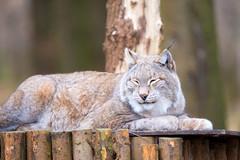 The weather feels sooo good (Andriy Golovnya (redscorp)) Tags: lynx luchs sleeping schläft wildpark poing wildparkpoing bayern bavaria deutschland germany sun sunny day beautiful light