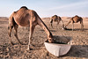 Three hungry camels. (Byron Villegas) Tags: camels desert