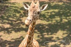 Corrie (shutterbugdancer) Tags: africansavanna animals reticulatedgiraffe fortworthzoo fortworth