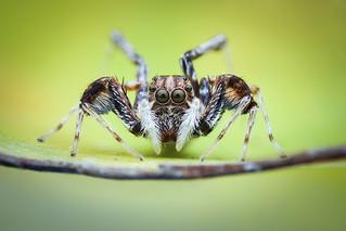 Brettus cingulatus female
