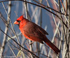 Framed in the Brush - HWW (11Jewels) Tags: canon 70300 cardinal marshrabbitrun circlebbarreserve lakelandfl wingwednesday