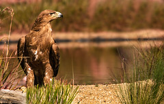 tawny eagle (jeff.white18) Tags: tawnyeagle eagle bird birdofprey preditor nikon feathers raptor water nature beak flickr