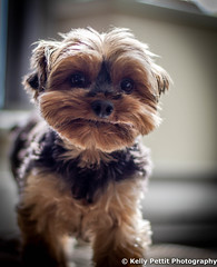 Confused Kylie chan (kellypettit) Tags: dog portrait cute funny eyelevel