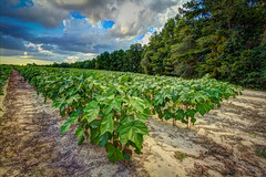Cotton Rows (MichaelSOwens) Tags: hdr farm agriculture cotton plants rows trees soil leaves sky