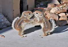 AGS Kissy Face (Monkeystyle3000) Tags: baby antelope ground squirrels