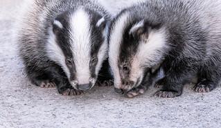 Badger Cub Pair